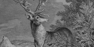 Illustration of a stag in Kirchheim Forest.